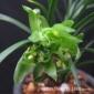 兰花苗春兰奇花宋蝴蝶 浓香冬季带花苞精品素奇花花卉植物盆栽