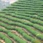 2017年春茶黄金桂乌龙茶批发 色泽青绿 香气浓郁